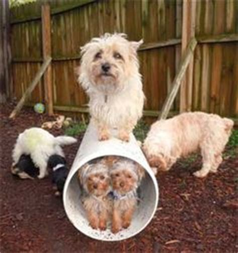 west highland terrier cross shih tzu dogs that look like my marilyn on cairn terriers dogs and pets