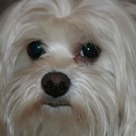 yorkie tear stains home remedies for tear stains more white dogs and maltese ideas