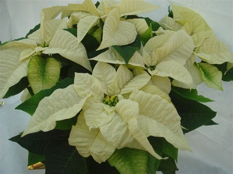 traditional poinsettias
