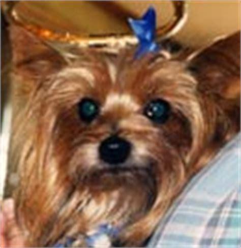 yorkie tooth decay terriers yorkie puppies breeder information san diego