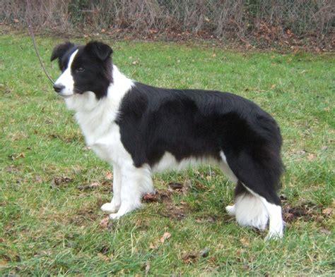 Balmut Mini Karakter Blue Trivia border collie puppies rescue pictures information temperament characteristics animals