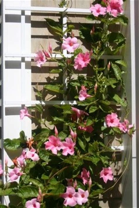 mandevilla climbing plant   planted
