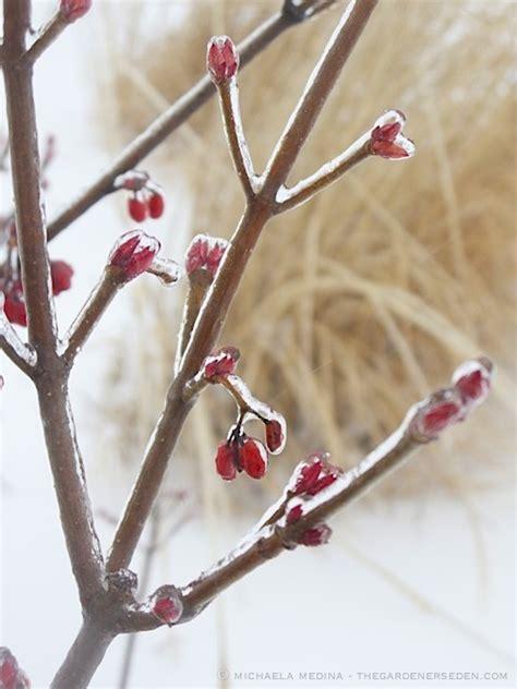 Florida Cool 187 daphne x burkwoodii carol mackie in winter the