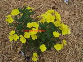 Yellow Flower Perennials - 6 yellow buttercup flowers perennial flower plants
