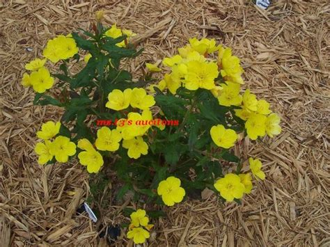 6 yellow buttercup flowers perennial flower plants
