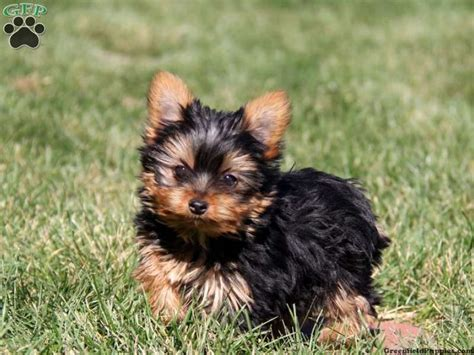 i want a teacup yorkie 24 best images about teacup yorkies on discover best ideas about