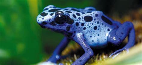 der balue pfeilgiftfrosch regenwald tiere