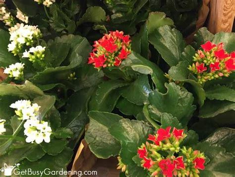 flowering house plants flowering indoor house plants 15 of the best flowering