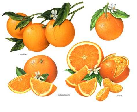 fruit illustration portfolio douglas schneider