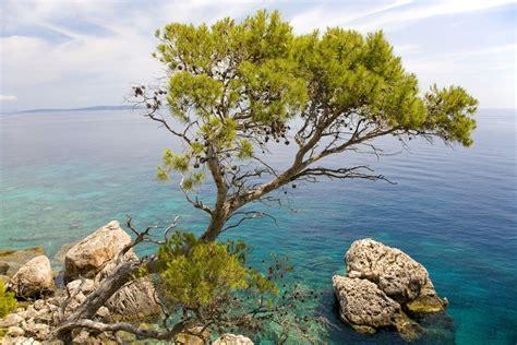 pine trees    world