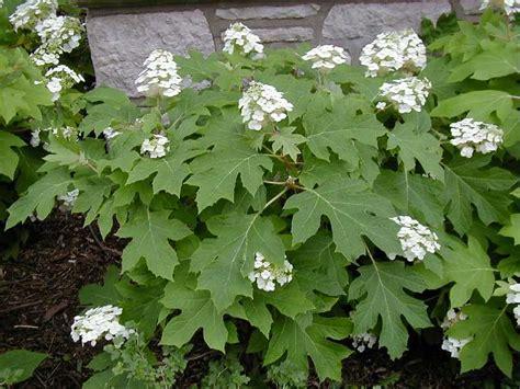 Hydrangea quercifolia (Oak Leaf Hydrangea) - Citizens for ... Oak Leaf Hydrangeas In Winter