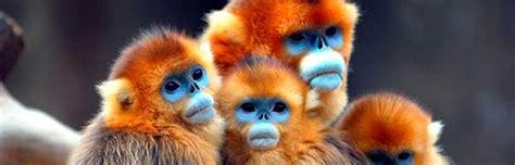 new year facts about the monkey monkey animal facts and information