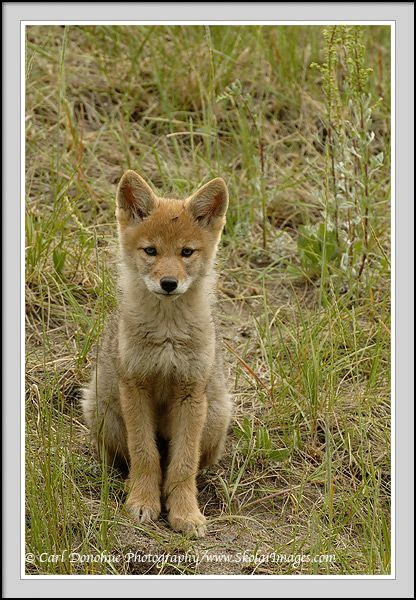 coyote puppy 41 best animal images on adorable animals animals and search