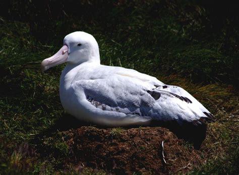 wandering albatross  zealand birds