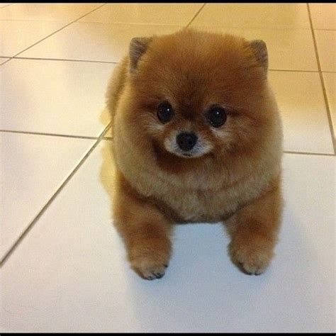 what do pomeranians like to do 17 best images about pomeranians on pom poms and teacup pomeranian
