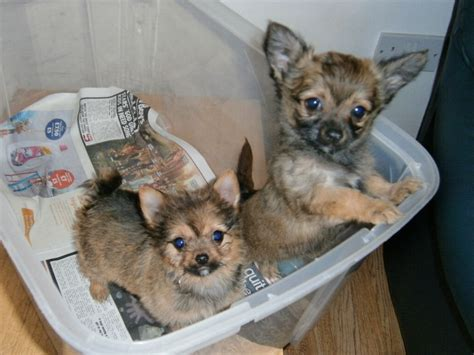pomeranian x chihuahua puppies gorgeous pomeranian x chihuahua puppies stanmore middlesex pets4homes