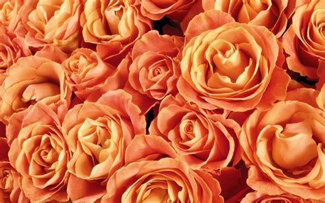 themes of rose rose wallpapers best wallpapers