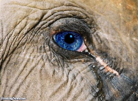 what color are elephants elephant with blue pictures freaking news