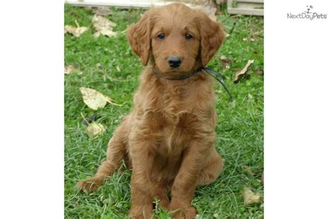 doodle puppies for sale in michigan labradoodle puppy for sale near the thumb michigan