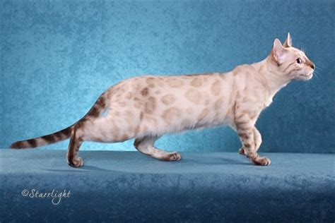 seal lynx point spotted snow bengal kitten by junglelure bengals of about bengals