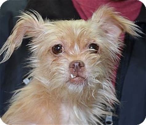 yorkie puppies for adoption in missouri independence mo yorkie terrier mix meet a for adoption