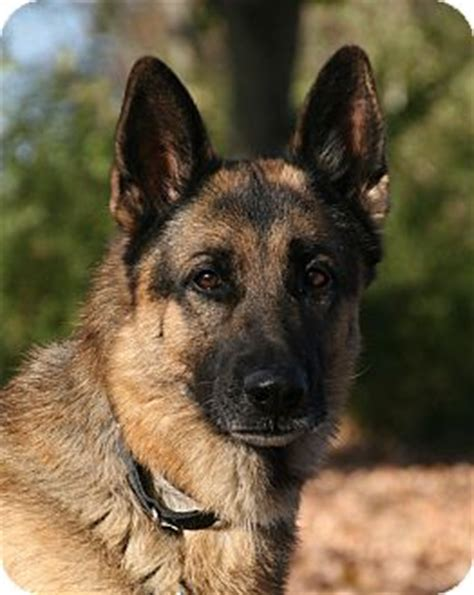 german shepherd puppies nashville tn ace adopted nashville tn german shepherd
