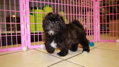 pug puppies for sale augusta ga choice shih poo puppies for sale in at puppies for sale local breeders