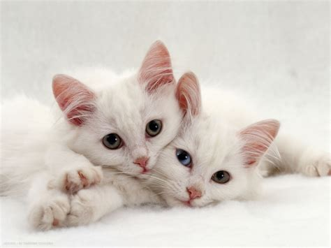 two white persian cross kittens one odd eyed   persian cat