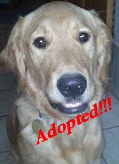washington golden retriever rescue golden retriever rescue wa dogs in our photo