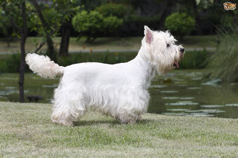 west highland white terrier puppy west highland terrier breed information buying advice photos and facts pets4homes