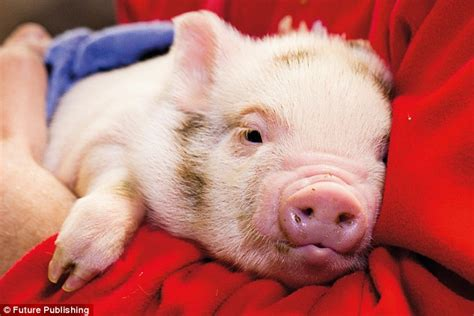 are pigs smarter than dogs iq tests reveal pigs can outsmart dogs and chimpanzees africanseer