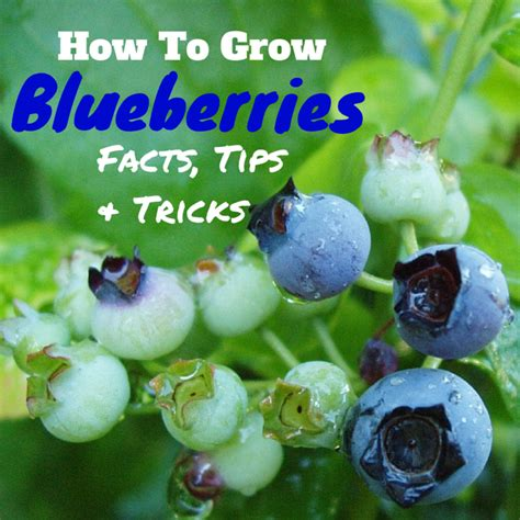 facts tips  tricks  growing blueberries hubpages