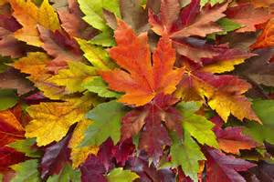 colorful leaves 1000 images about fall leaves on