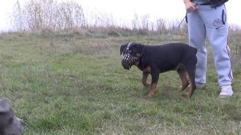 blue nose rottweiler blue nose american pitbull vs rottweiler vs nero 6