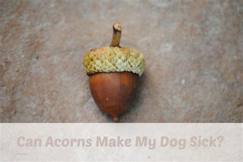 are acorns bad for dogs can acorns make my sick mybrownnewfies