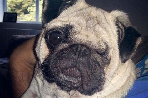 blindness in pugs fighting to be destroyed after leaving pug blind in both in savage attack
