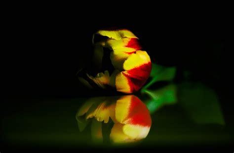 fiore tulipano nero tulipano nero fiore amazing vicino di pistilli e fiore