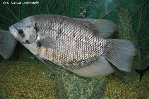 Benih Ikan Gurame Yang Bagus budidaya dan ternak usaha budidaya ikan gurame