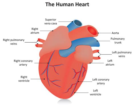 cardiac diagram healthy human diagram