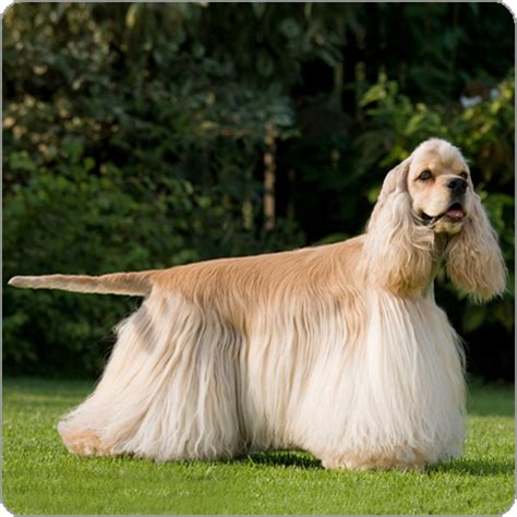 show me types of dogs american cocker spaniel breeds purina