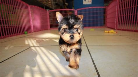 yorkie puppies for sale in atlanta adorable teacup yorkie terrier puppies for sale in atlanta ga at puppies for sale