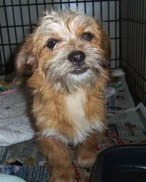 yorkie and brussels griffon mix belgian griffon mix www imgkid the image kid has it