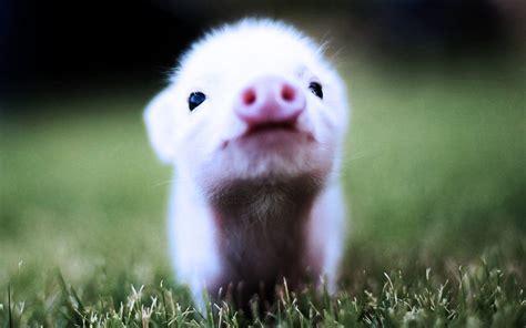 Baby Pigs   www.imgkid.com   The Image Kid Has It!