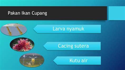 Budidaya Kutu Air Pakan Ikan Cupang budidaya ikan hias cupang