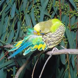 budgie colors parakeets noktys