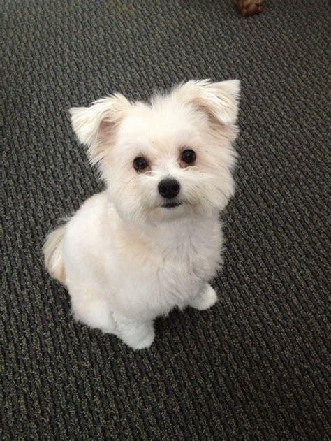 Pomapoo Haircuts | 34 best images about pomapoo cuteness on pinterest
