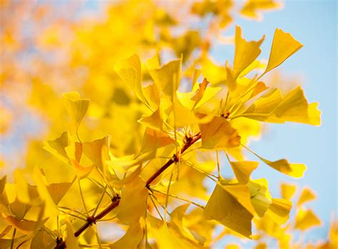 yellow things ginko biloba angelo desantis flickr