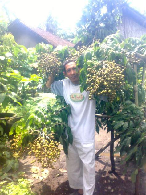Bibit Tin Bandung jual bibit tin jual bibit pohon tin ara zaitun alya