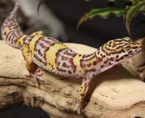 adult albino leopard geckos  sale