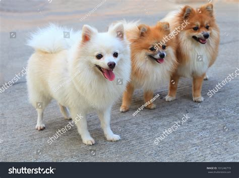 pomeranian colors white brown and white pomeranian www pixshark images galleries with a bite